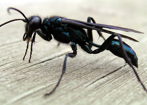 Organ-Pipe Wasp