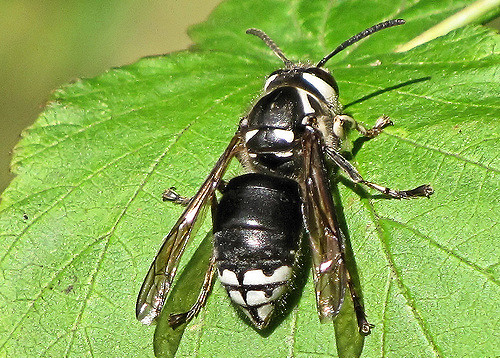 White-Faced Hornet