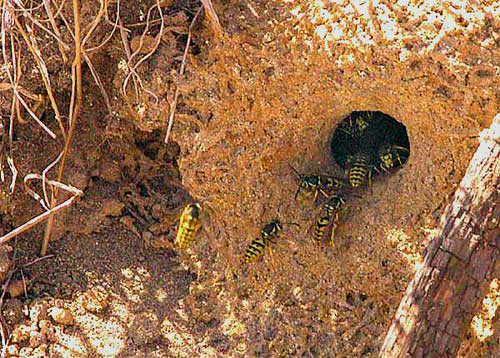 Yellow Jacket Nest